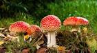 Cueillette champignons, intoxication champignon, 181 cas champignons, conseils récolte champignons, champignons